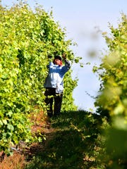 "A farm worker ""tucks"" vines in one of Dan Nitz and"
