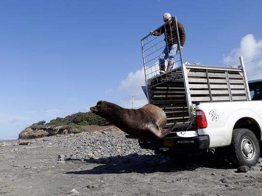 In this March 14, 2018, photo, a California sea lion, designated #U253, leaps out of a cage towards the beach and open Pacific Ocean as Oregon Department of Fish and Wildlife scientist Bryan Wright holds the gate open in Newport.