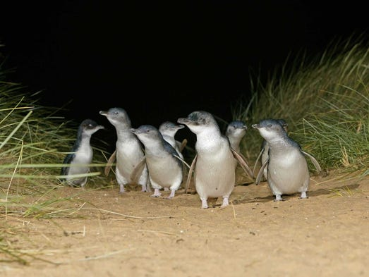 New Zealand is home to the world's smallest penguins.