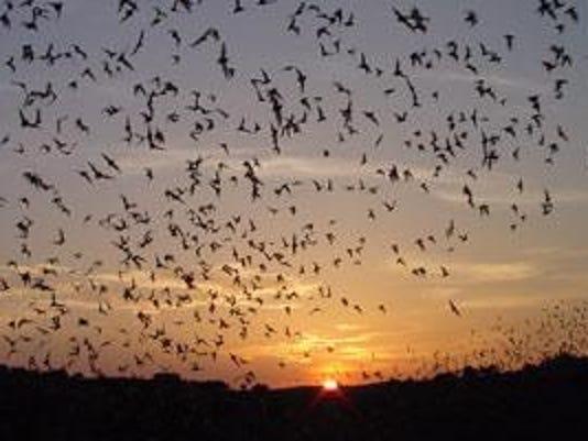 -bat_flight_hristov_415.jpg_20130722.jpg