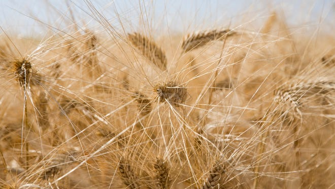 Unregulated genetically modified wheat has popped up in Montana.
