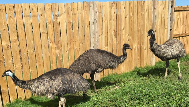 A wandering emu was transported to Animal Adventure on Wednesday.