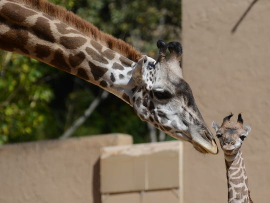 Kiko, the baby giraffe born at the Greenville Zoo late