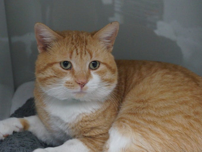 Gunther is a sweet, 2-year-old orange-and-white tabby.
