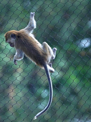 Long-tailed Macaques are seen at the Indianapolis Zoo, Tuesday, May 22, 2018.  The rare Southeast Asian monkey exhibit opens on May 26, 2018.  The monkeys are known are swimmers, and their new habitat allows them to climb high and dive in and swim.  Because they are new to this habitat, they are not swimming yet.
