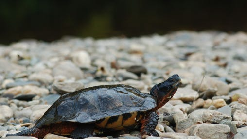 Wood turtle on river stones
