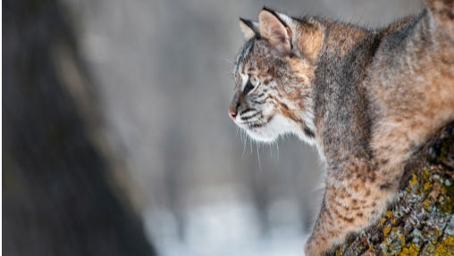 A hunt for mountain bobcat in Central Oregon.