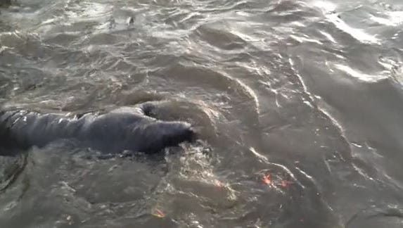 A group of manatees caused a stir at a Fort Myers neighborhood while mating off Bal Isle Drive.