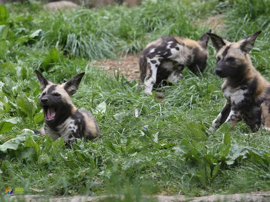 African painted dogs, including five puppies, explore their new habitat Wednesday April 25, 2018.
