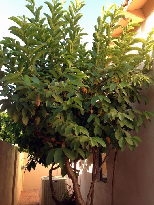 Guavas need deep watering during summer