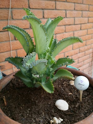 The Maternity Plant succulent produces young plants in the notches found along the leaf edges.