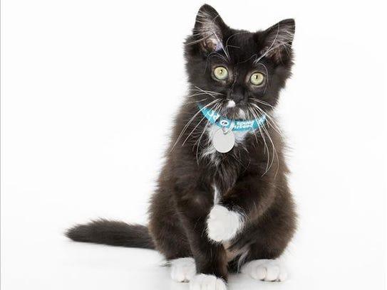 Syrah, 3-month-old female domestic medium hair kitten.