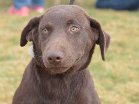 Coco - Male Labrador, about 10 months old. Intake date:10/30/2017