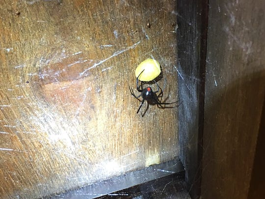 Lauren Barker found this female black widow and egg sac under a night stand recently after discovering hundreds of juvenile spiders on her bathroom ceiling.