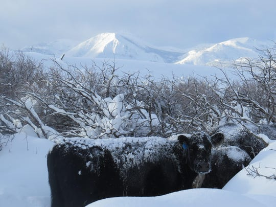 Cattle seek shelter in the brush outside Heart Butte