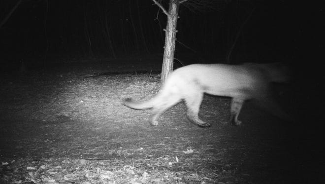 A cougar that has made appearances this year in the Milwaukee area was last seen on a trail camera in unincorporated Colgate.