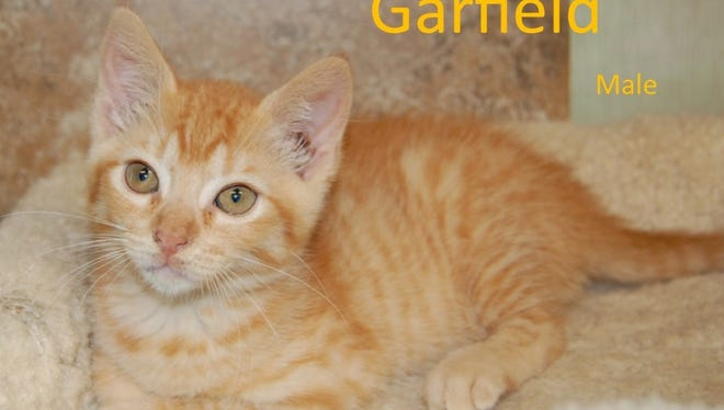 Garfield is a male kitten available at the city of Wichita Falls Animal Services Center. Cats and kittens through the month of June are available at a reduced adoption fee of $20 for one and $30 for two.