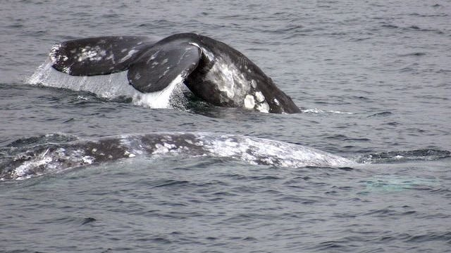 Gray whale spotted off the California coast.