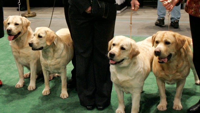 Four Labrador retrievers line up for a photograph with their handlers before entering the ring for competition at the Westminster Kennel Club dog show at Madison Square Garden in New York on Feb. 13, 2007. Labs reigned as the nation's top dog in 2014 for the 24th year after breaking poodles' decades-old record in 2013, according to American Kennel Club rankings set to be released Thursday Feb. 26, 2015.