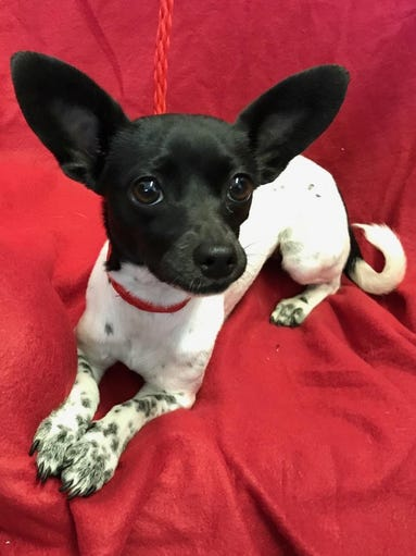 Gabriela is a sweet, 8-pound, 1- to 2-year-old Chihuahua