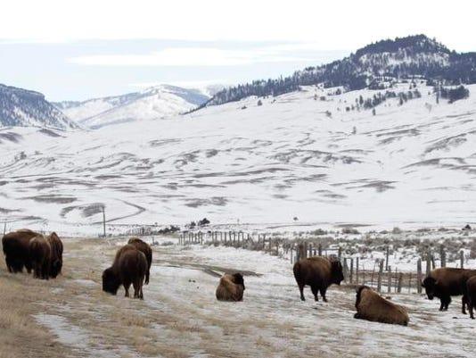 -Yellowstone Bison Sla_Uda2.jpg_20110215.jpg