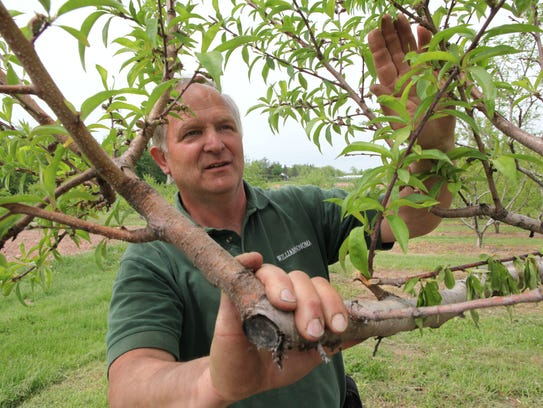 Rich Concklin checks out a fruit tree at the Orchards