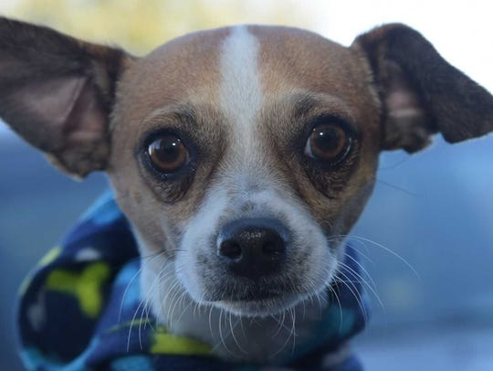 Kermit - Male Chihuahua mix, about 2 years old. Intake