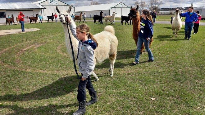 Kayla Gave, 10, Pease, leads her llama, Cloud, as others follow behind to practice showmanship Saturday during the Central Minnesota Llama Club-sponsored 4-H llama clinic at the Benton County Fairgrounds in Sauk Rapids.
