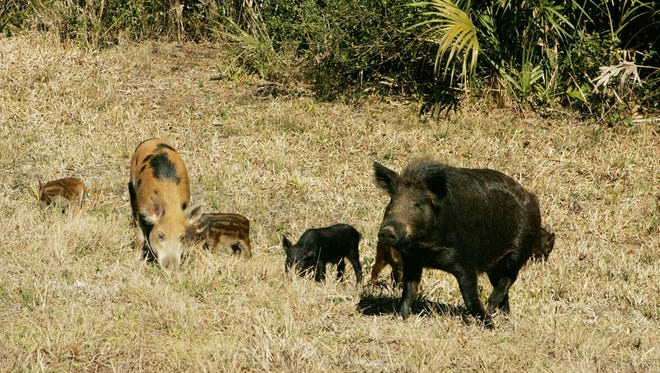 A suspected wild hog trapping and selling ring has been busted in South Mississippi.