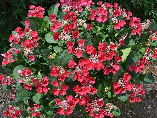 Cherry Explosion hydrangea