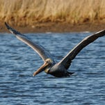 The death of a brown pelican along a Mardi Gras parade route is being investigated.