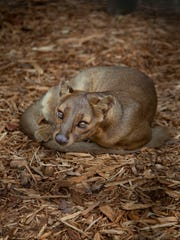 Having fossa in a zoo not only introduces people to an unknown species, but to the plight of all creatures in Madagascar which have lost 90 percent of their natural rainforest.