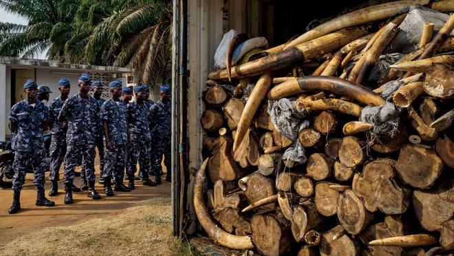 In January 2014, while x-raying a Vietnam-bound container declared to hold cashews, Togolese port authorities saw something strange: ivory. Eventually, more than four tons was found, Africa's largest seizure since the global ivory trade ban took effect in 1990. DNA suggests that some of the ivory is from elephants killed in May 2013 at Dzanga Bai in CAR. The images appear in the September issue of National Geographic magazine.