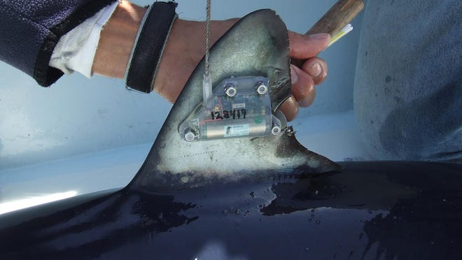 Scientist Bradley Wetherbee shows a tracking transmitter mounted on a shortfin mako shark's dorsal fin.