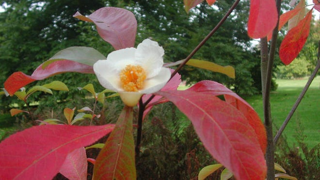 In late summer-fall, the leaves of Franklinia turn a striking orange-red.