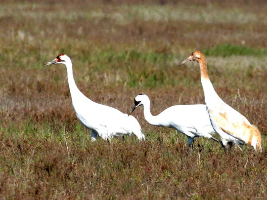 Bird lovers celebrated when biologists in Canada counted 98 whooping crane nests in May and 63 fledglings in July at the Wood Buffalo National Park in Alberta, including four sets of twins. The old fledgling record set in 2006 was 49.