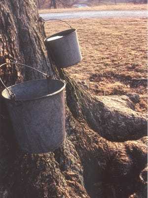 Sugar water is collected in buckets at sugar camps in preparation for the 58th annual Highland County Maple Festival.