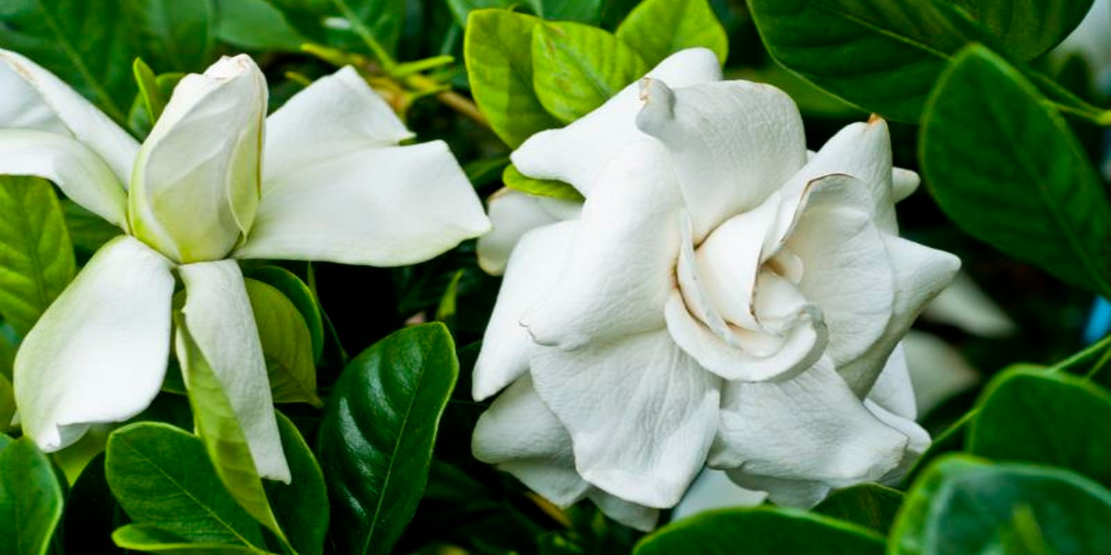 Stop And Smell The Roses Gardenias Jasmine And More