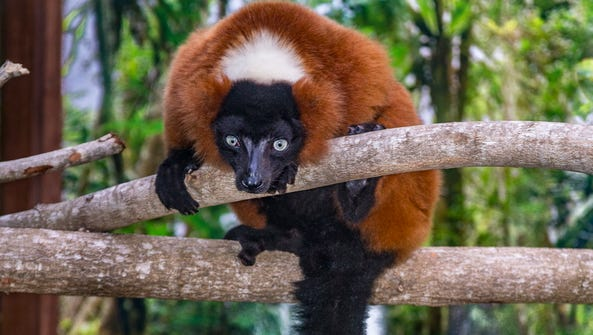 A red ruffed lemur. A breeding pair of these endangered