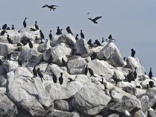 Cormorants gather June 2 on Spirit Island at Lake Mille Lacs.