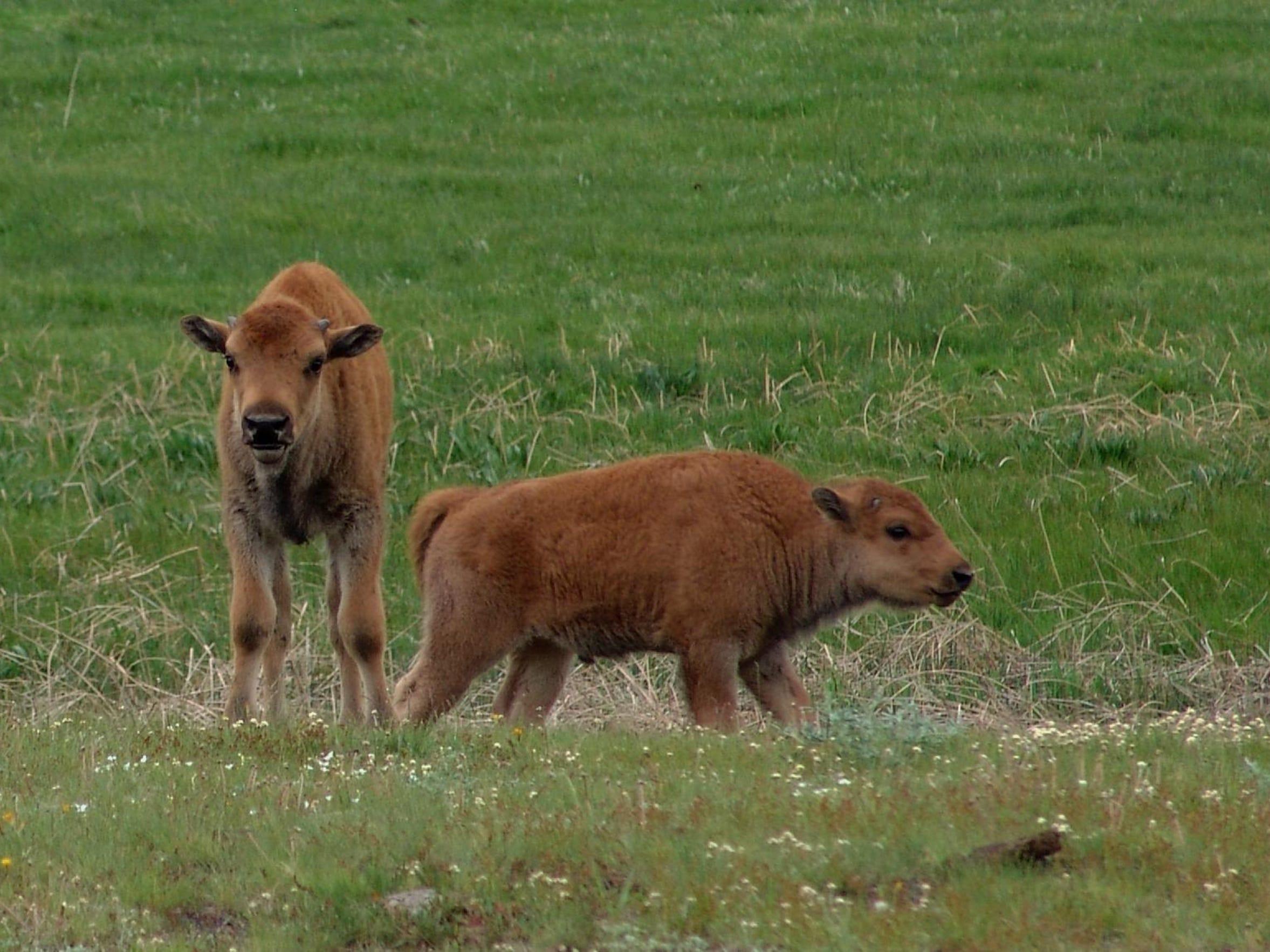 FAL 0628 Science of bison -bison babies.jpg_20150609.jpg