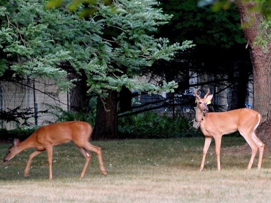 Hunting deer in the city of Ann Arbor will continue as part of efforts to control the deer population.