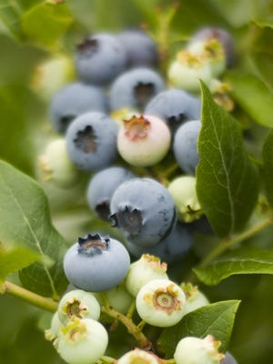 Thinking of adding blueberry bushes? Blueberry bushes require highly acid soil and full sun.
