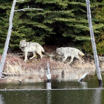 Isle Royale likely to get 20-30 wolves over a three-year span