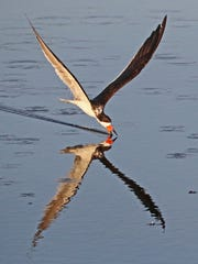A black skimmer darts along the surface of a Viera Wetlands' marsh just after sunrise.