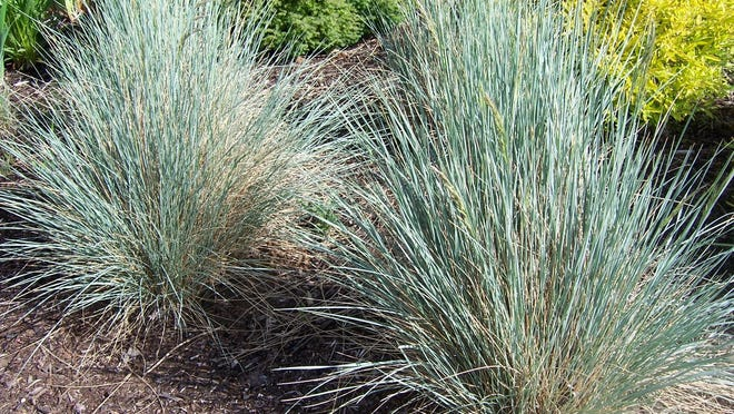 Before cutting grasses, distinguish between evergreen and deciduous grasses. Deciduous grasses will have turned a tan or brown color, indicating the tops of the plant are now dead. It is fine to cut back deciduous ornamental grasses at this time of year, prior to new growth showing up. Do not cut evergreen grasses such as blue oat grass (pictured) and fescues, as this can cause dieback or death of the plant. Clean up these grasses with a garden rake.