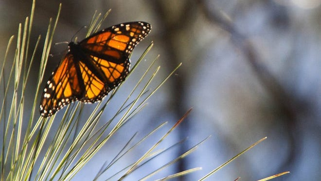 A monarch butterfly rests in a sunny spot on a pine bough at Camino Real Park in Ventura.