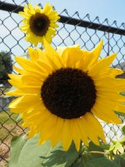 Sunflowers show their bright heads at St. Joseph Apartments on Third Street. The garden there is tended by Lyman Allen.