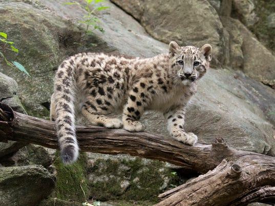 AP Bronx Zoo Snow Leopard_001