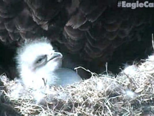 First-Eaglet-(1)